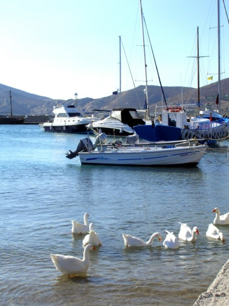 Swans in Naoussa, Greece