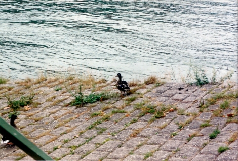 Ducks in St. Goar, Germany